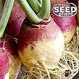 American Purple Top Rutabaga Turnip Seeds - 1000 Seeds NON-GMO