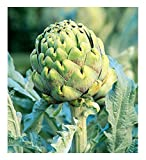 David's Garden Seeds Artichoke Green Globe OS691 (Green) 50 Non-GMO, Heirloom Seeds