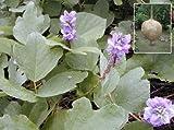 KUDZU (Pueraria tuberosa) 20 seeds