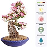 "Brussel's Live Azalea Specimen Outdoor Bonsai Tree - 35 Years Old; 18"" Tall with Decorative Container"