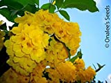 Yellow Elder, Esperanza, Yellow Bells, Hardy Yellow Trumpet, Trumpet-flower, Tecoma stans (24+ Seeds)