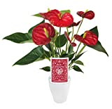 """Kurt Weiss Greenhouses Live Red Anthurium Plant in a 3"""" White Ceramic Pot"""