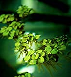 Salvinia Minima (20 Clusters) Aquatic Floating Plants!