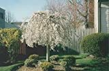 1 Weeping Cherry Tree - ( prunus x yeodensis shidare yoshino )