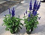 100 OXFORD BLUE SAGE Salvia Viridis Clary Painted Horminum Sage Herb Flower Seeds