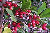 LovelyGarden Miracle Fruit Plant (Tree) Synsepalum dulcificum USA