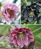 100pcs/lots wholesale Hellebore, Double Spring Collection flower seeds