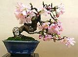 Prunus-serrulata-JAPANESE-FLOWERING-CHERRY-35-SEEDS-Bonsai-Ornamental-Sakura Prunus-serrulata-JAPANESE-FLOWERING-CHERRY-35-SEEDS-Bonsai-Ornamental-Sakura Prunus-serrulata-JAPANESE-FLOWERING-CHERRY-