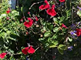 P070S. Salvia greggii Furman's Red - 30 Seeds