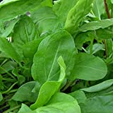 NIKITOVKASeeds - Sorrel Belvylskyy - 5000 Seeds - Organically Grown - NON GMO