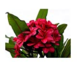 4 Hawaiian Red Frangipani Slips Unrooted LB5