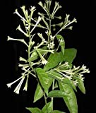 9EzTropical - Night Blooming Jasmine - 1 Plant - 2 to 3 Feet Tall - Ship in 1 Gal Pot