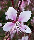 New PINK GAURA WHIRLING BUTTERFLIES Flower 100+ Seeds