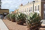 15 Seeds of Agave Horrida - Mexcalmetl