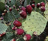 50 RED Prickly Pear Cactus Seeds, Opuntia Engelmannii, Cold Hardy, Sweet Nopalea