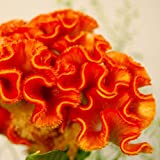 30+ Orange Colored Cockscomb / Celosia Flower Seeds Reseeding Annual