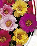 Moss-Rose Double Mix - 2000 Seeds - Organically Grown - NON-GMO