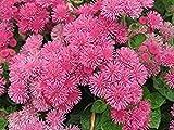 Floss Flower Seeds,ageratum houstonianum,Cloud Nine Pink-PEL,Early Variety.(400 Seeds)
