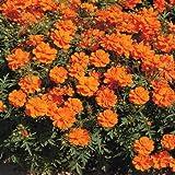 Outsidepride Cosmos Sulphureus Orange - 1000 Seeds