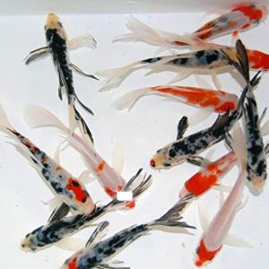 Toledo Goldfish Live Butterfly Fin Koi for Ponds, Aquariums or Tanks - USA Born and Raised - Live Arrival Guarantee 8