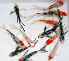 Live-Butterfly-Fin-Koi-for-Garden-Pond-Goldfish-Aquarium-or-Tank--Live-Butterfly-Fin-Koi--Born-and-Raised-in-The-USA-Live-Arrival-Guarantee-3-4-inches-5-Fish