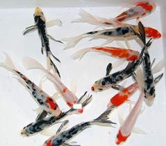 Live-Butterfly-Fin-Koi-for-Garden-Pond-Goldfish-Aquarium-or-Tank--Live-Butterfly-Fin-Koi--Born-and-Raised-in-The-USA-Live-Arrival-Guarantee-4-5-inches-3-Fish