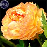 New Golden Yellow Peony Tree Flower Seeds, Professional Pack, 5+ Seeds