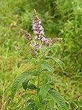 100 Seeds of Mint Arabian / Mentha longifolia