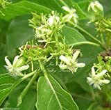 Vangueria Meyna spinosa Small Tree Tropical Shrub 5 Seeds Bonsai or Standard Rare