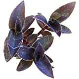 Tradescantia Cerinthades Green Lee (4'' + Clay Pot)