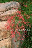 Russelia equisetiformis Seed The Most Popular Bonsai Flower Bao Zhang zhu Indoor Plants Flowers Perennial High Germination 50 Pc