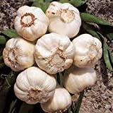 GARLIC BULB (8 Pack), FRESH CALIFORNIA SOFTNECK GARLIC BULB FOR PLANTING AND GROWING YOUR OWN GARLIC