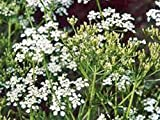 CARAWAY, HERB 100+ SEEDS ORGANIC, CAN USE SEEDS, PLANT AND ROOTS ON THIS HERB