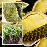 """Durian Tree plant grafted """"Monthong"""" Tall 22"""" delicious Fruit Plant From Thai"""