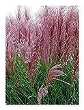 Miscanthus sinensis New Hybrids - Maiden Grass - Eulalia Grass - 5 Seeds