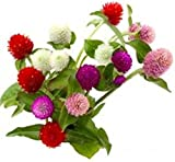 Lulan 40 Mixed Color Gomphrena Flower Seeds