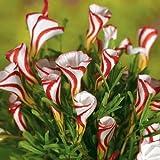 Oxalis versicolor (Candy Cane Sorrel) (10 Bulbs)