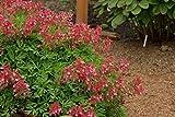 1 Strater Plant of Corydalis Solida 'George Baker' - George Baker Fumewort