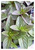 "Peppermint Herb Plant - Very Fragrant - Mentha - 3.5"" Pot"