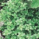 "English Thyme Herb - 3"" Pot - Thymus Vulgaris"