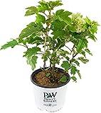Proven Winners - Hydrangea quercifolia Gatsby's Moon (Oakleaf Hydrangea) Shrub, white flowers, #3 - Size Container