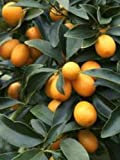 NAGAMI Kumquat Citrus Fruit Tree F. margarita Swing Grafted 3-4 feet tall