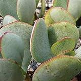 2 Leaf Cuttings of Succulent Crassula Arborescens Silver Dollar