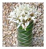 Crassula columnaris - Buddha temple - 10 seeds