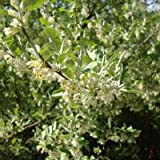 Elaeagnus umbellata: Autumn Olive Seeds