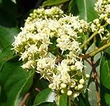 New Japanese Raisin Tree , Hovenia dulcis , 20 + Tree Seeds ( Hardy , Fragrant , Edible )