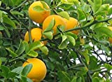 Hardy Bitter Orange, Poncirus Trifoliata, 5 Seeds