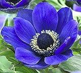 25 Anemone Bulbs TOP Size 7/8 - Single Blue Monarch Anemone