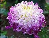 Mr.seeds 100 pcs/bag Light Purple White Color Chrysanthemum Seeds Chrysanthemum Morifolium Seeds Flower Potted Plant for DIY Home Garden