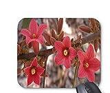 Brachychiton bidwillii flowers mouse pad